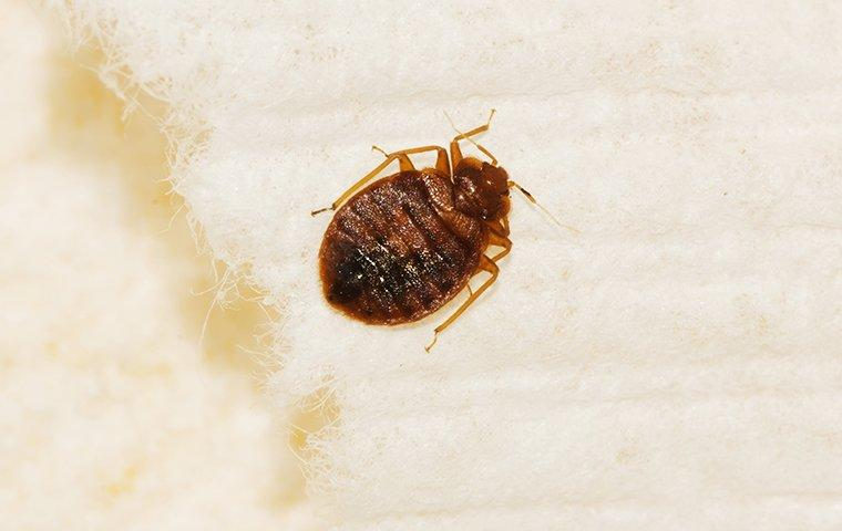 bed bug on mattress in home