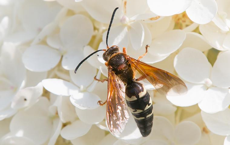 cicada killer on flower blossoms