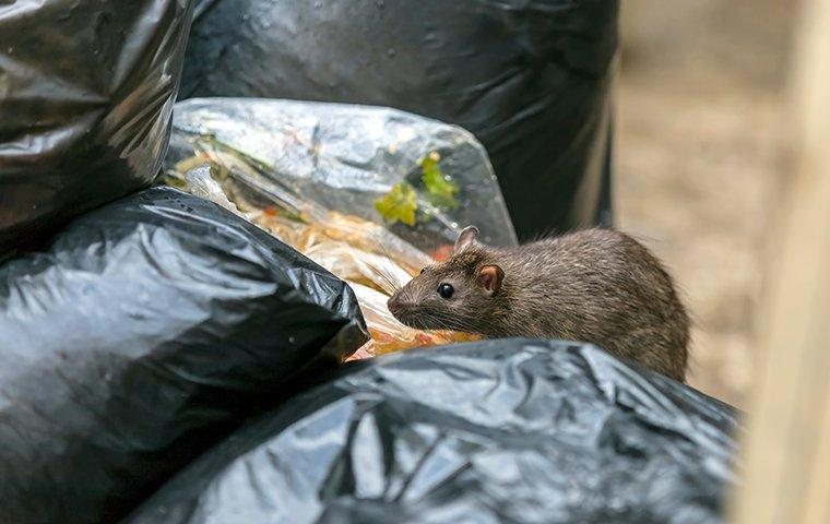 a rat getting into the garbage outside a restaurant