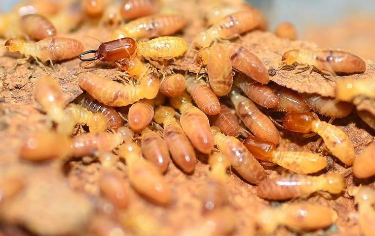 many eastern subterranean termites in sawdust