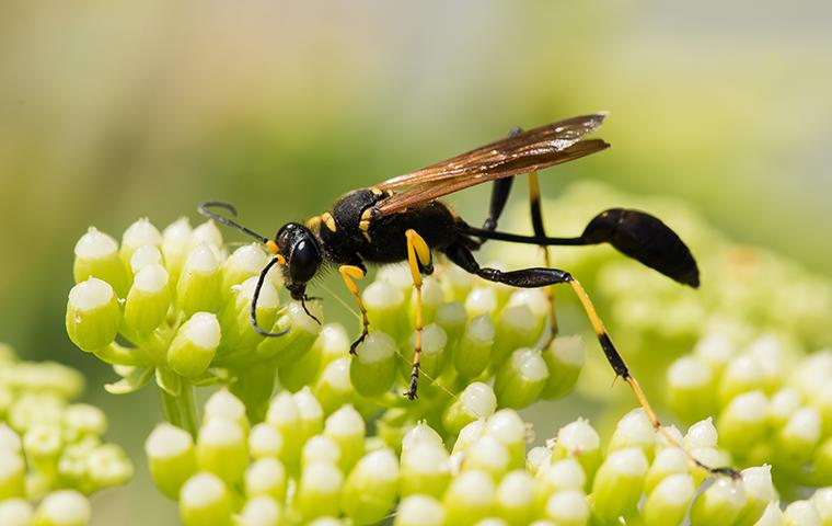 mud dauber on blossoming plant