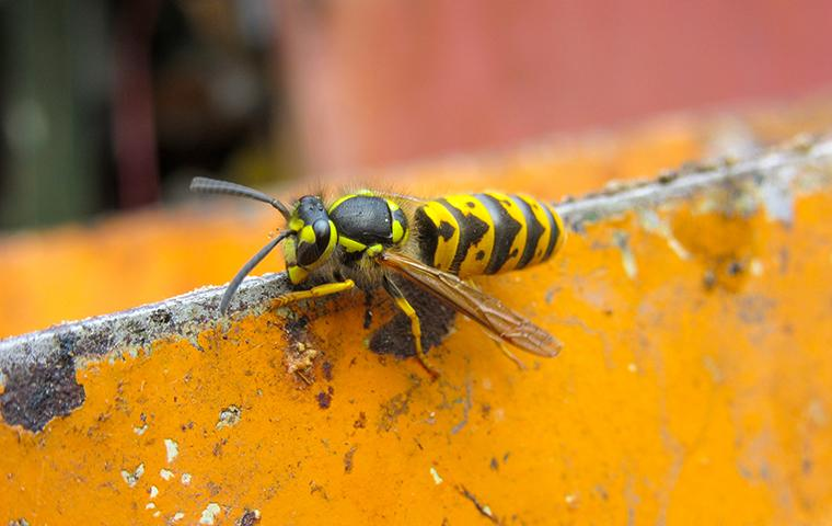 yellow jacket crawling on object around house