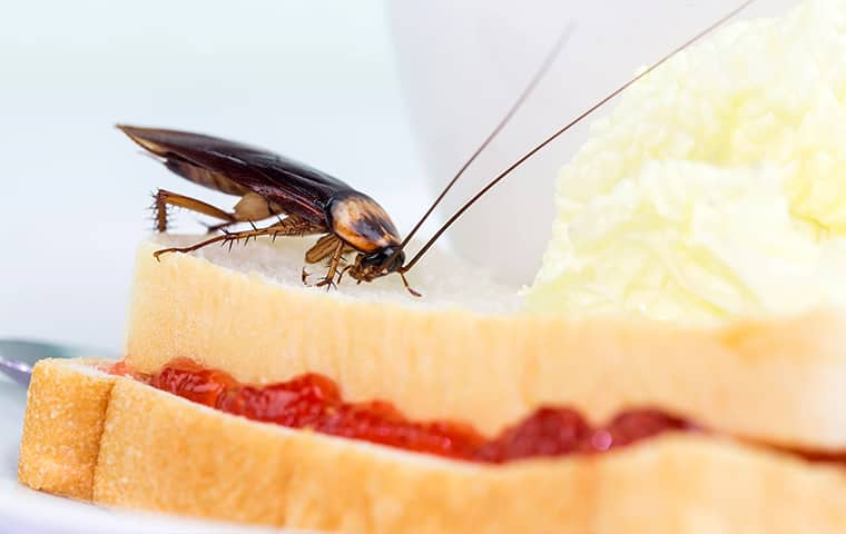 an american cockroach crawling on a sandwich inside of a home in dallas texas