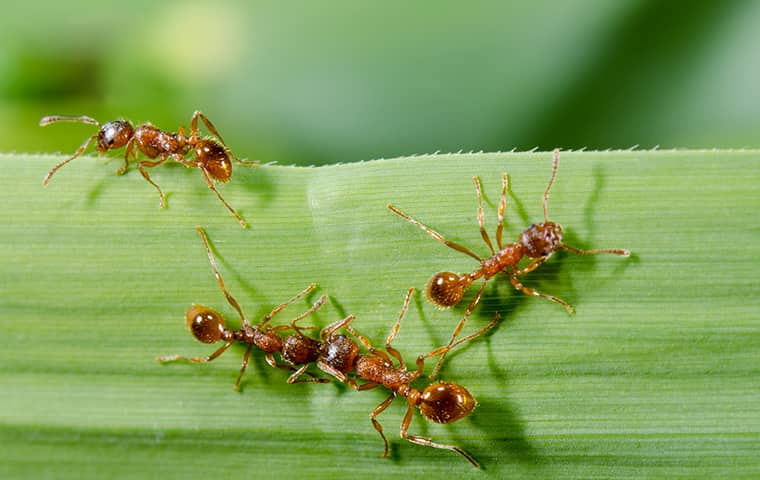 fire ants crawling on a plant outside of a home in fort worth texas