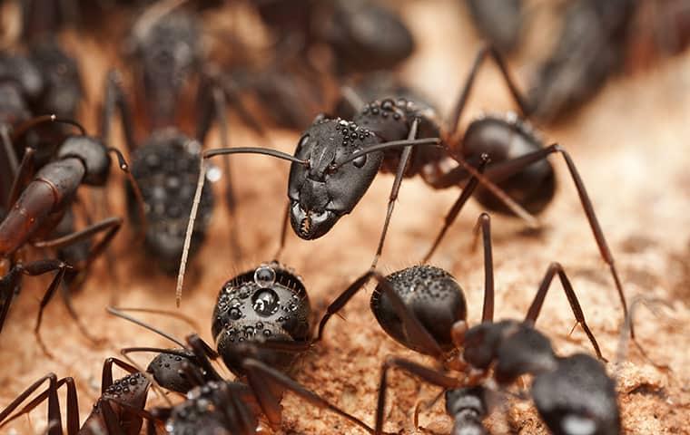 carpenter ants gathering on wood in kingwood texas