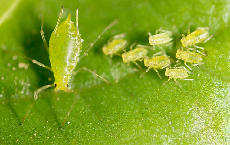 an aphid and nymphs on a leaf in fort worth texas