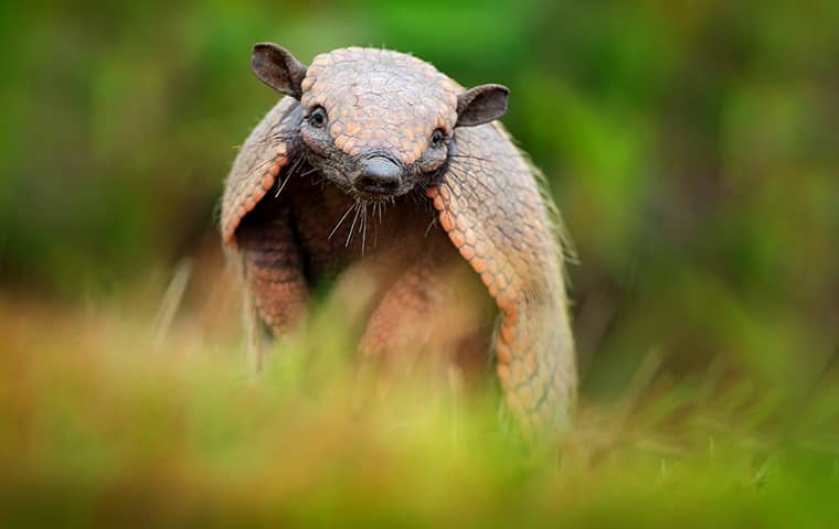 an armadillo in the grass outside in dallas texas