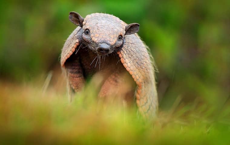 an armadillo in the grass outside in dallas texas