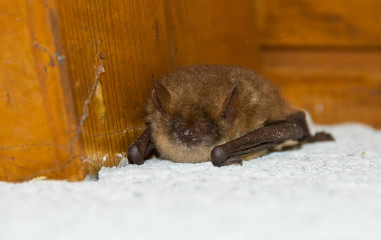 a little brown bat inside of a residential attic in texas