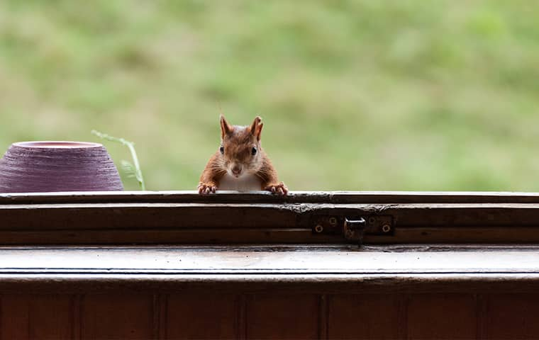 a squirrel poking his head up from a window in a fort worth texas home