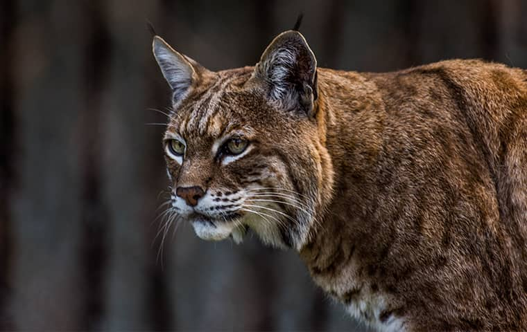 a bobcat outside of a home in sherman texas