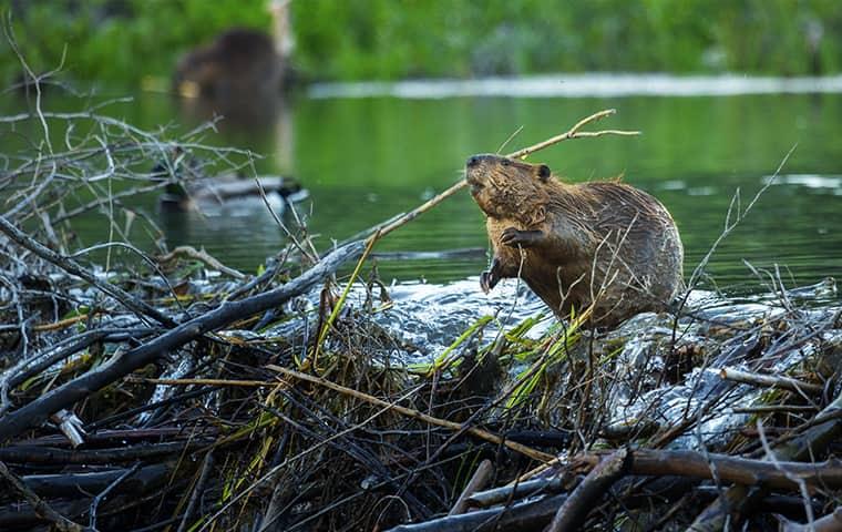 a beaver near water in missouri city texas