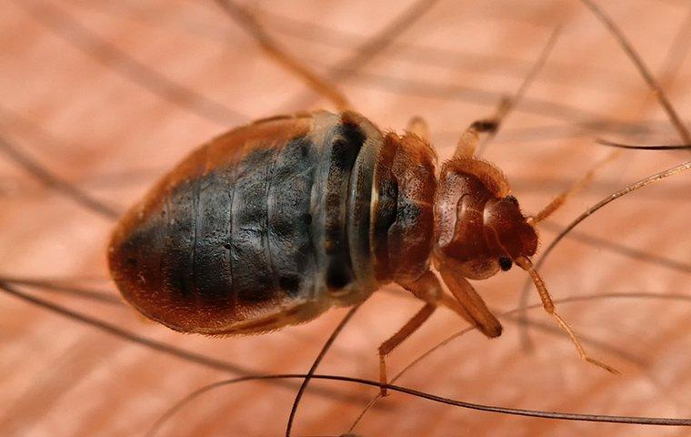 a bed bug in human hair