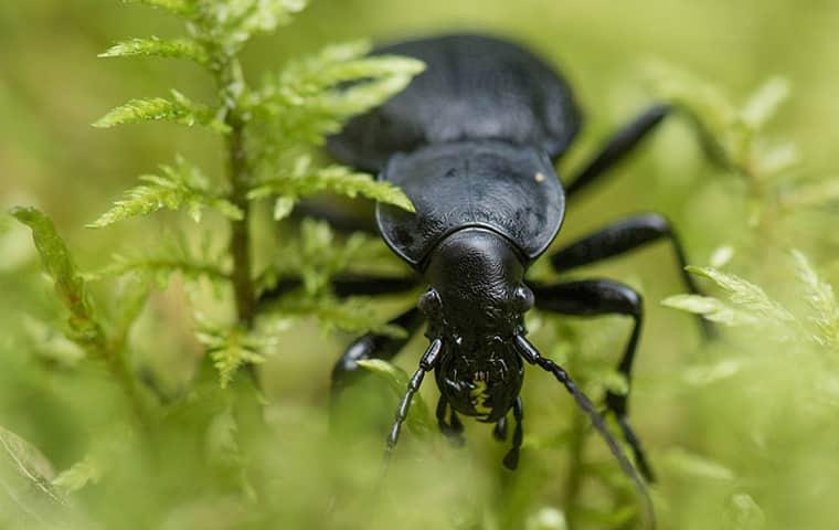 a beetle in a residential garden in dallas texas