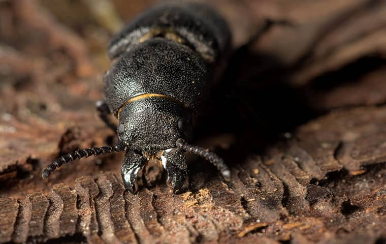 a bark beetle crawling on the ground in brookshire texas