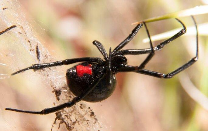 a black widow spider hanging in a web