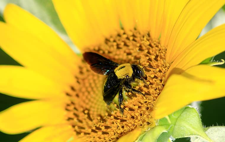 a carpenter bee on a flower inside of a home in dallas texas