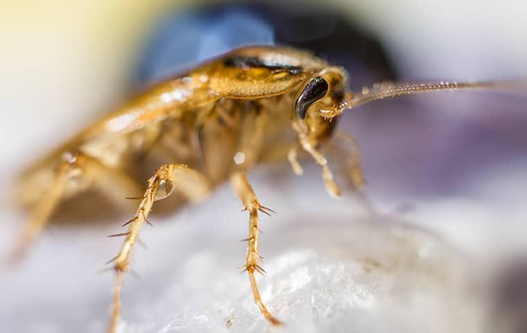 a german cockroach crawling inside of a dallas texas home