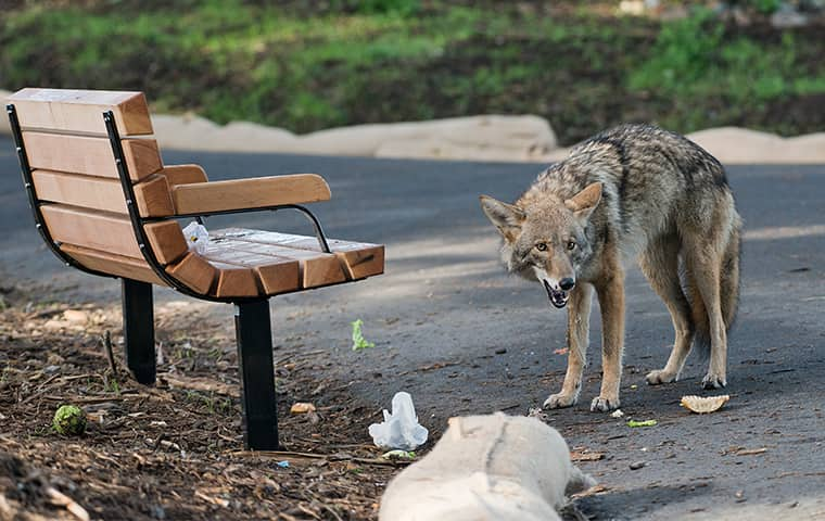 a coyote snarling in a texas park