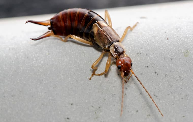 an earwig crawling on a surface inside of a home in dallas texas