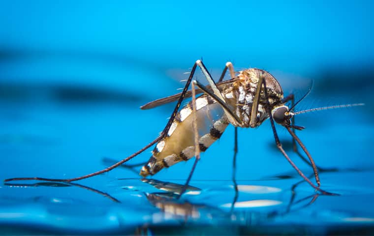 a mosquito on water in dallas texas