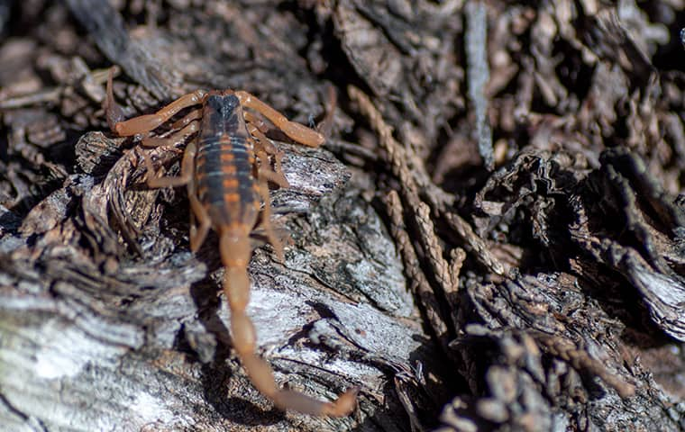 a striped bark scorpion crawling on the ground outside of a home in dallas texas
