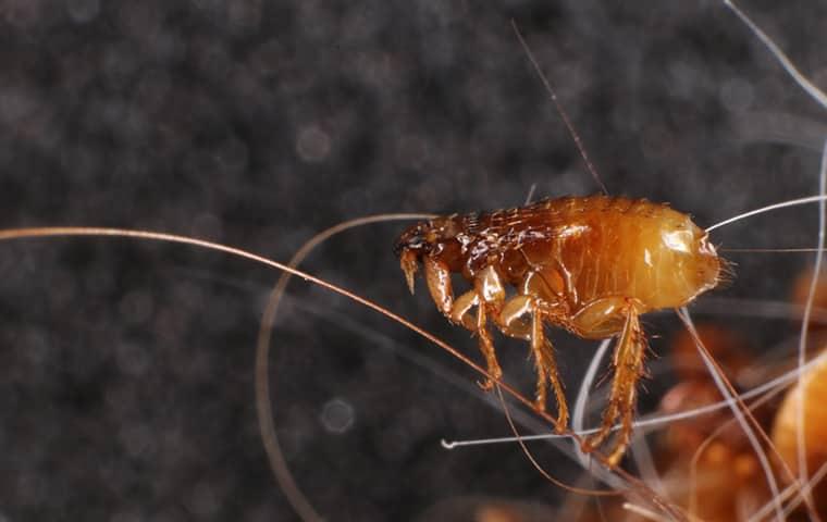 a flea crawling inside of a home in dallas texas