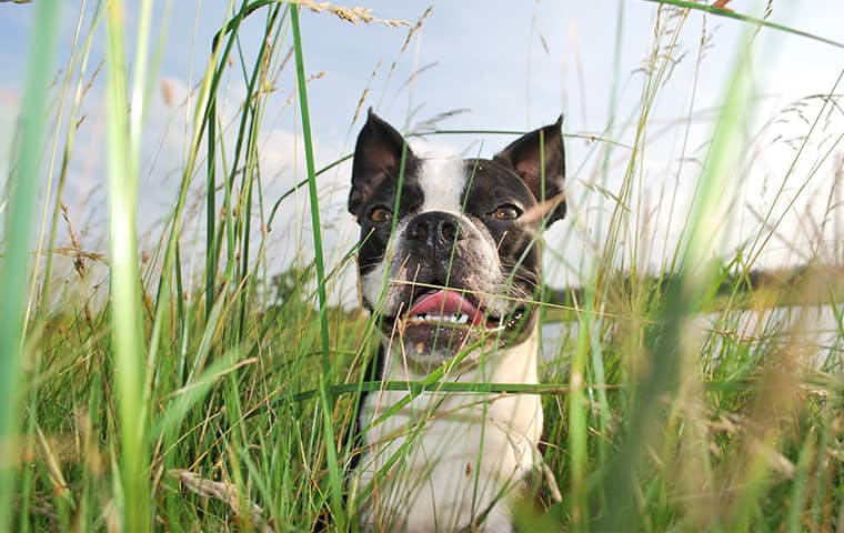 a dog in tall grass outside of a home in dallas texas