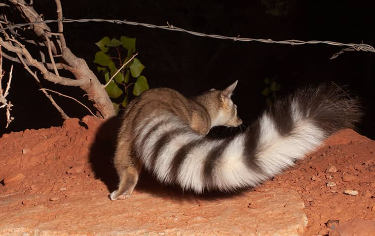 a ringtail cat viewed from behind in plano texas