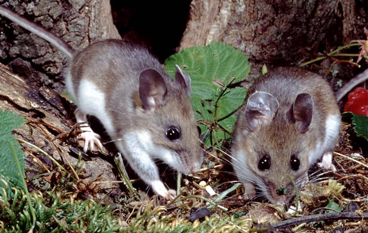 two deer mice outside of a home in dallas texas