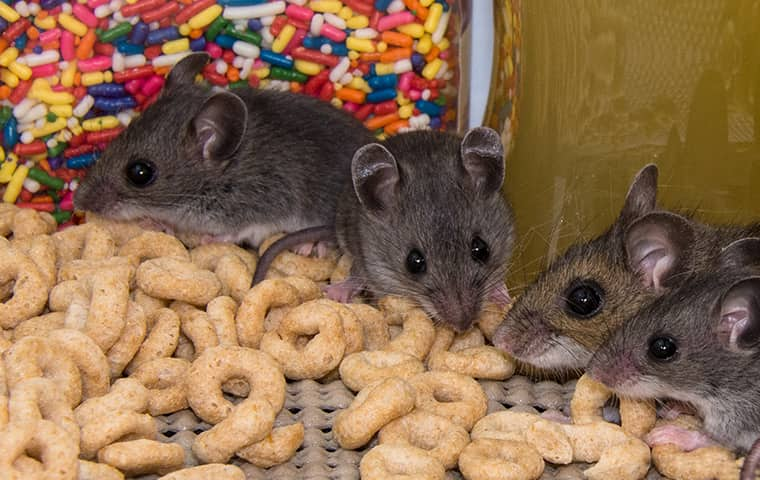 a family of mice eating cheerios in a fort worth texas residential pantry