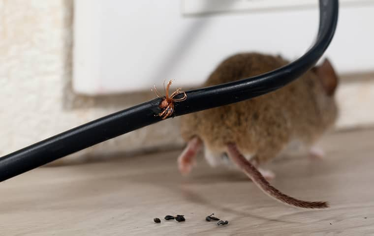 a mice leaving the scene after chewing through an electrical in a houston texas home