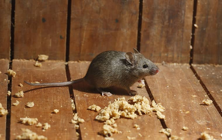 a mouse crawling on the floor of a home in coppell texas