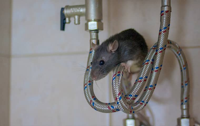 a mouse crawling on plumbing inside of a residential bathroom in fort worth texas