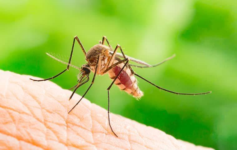 a mosquito biting human skin in a dallas yard