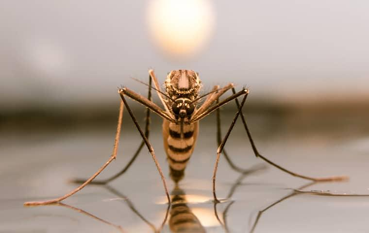 a gold and black colored mosquito sitting on its reflection as it rests on still water in a texas yard