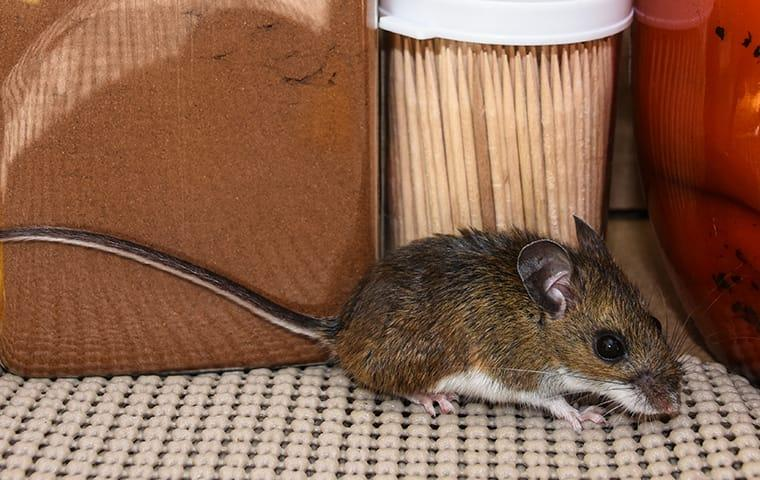 a house mouse scurrying accross a kitchen cupboard looking for food to store up for winter inside of a cypress texas home