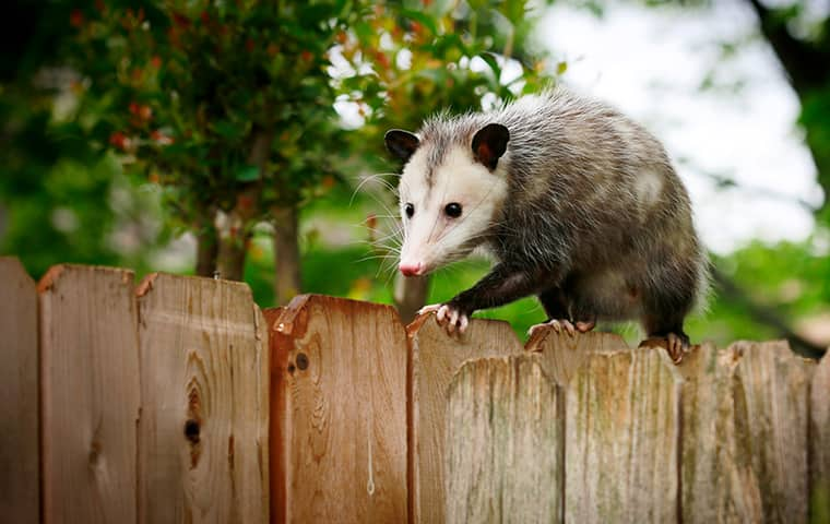 an opossum walking along a fence in a houston texas residential backyard