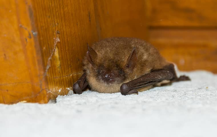 a little brown bat lying on the floor of a home in fort worth texas