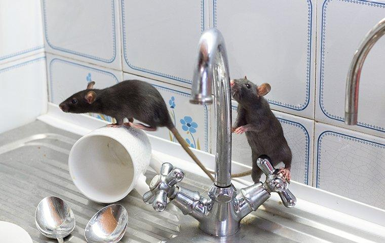 a group of rats crawling around a sink