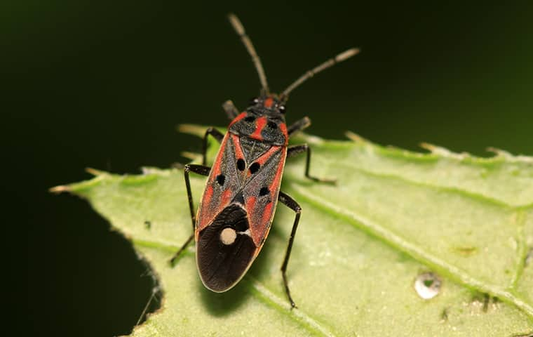 a chinch bug on a leaf outside in fort worth texas