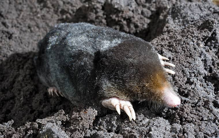 a mole crawling on the ground outside in carrollton texas