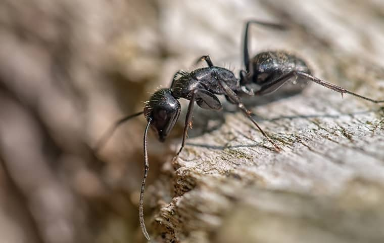 a carpenter ant crawling inside of a home in dallas texas