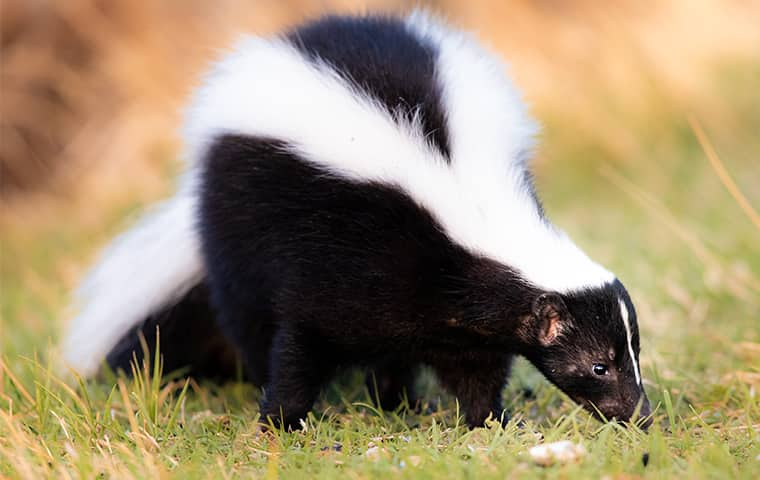 a skunk in a field outside of a home in houston texas