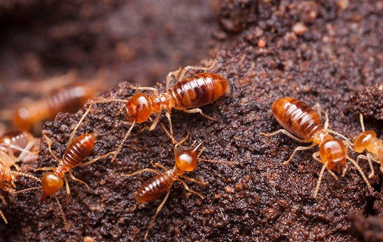 termites crawling throughout their colony