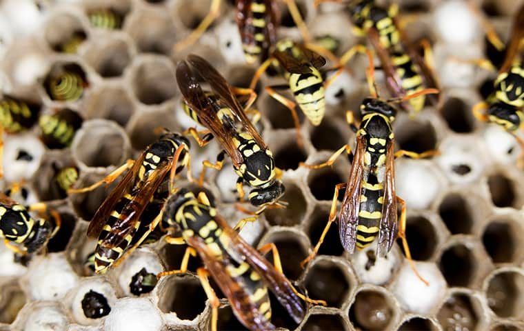 a nest of wasps on a dallas texas home