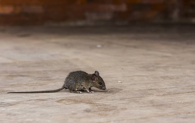 a small mouse scurrying across the floor of a home in dallas texas