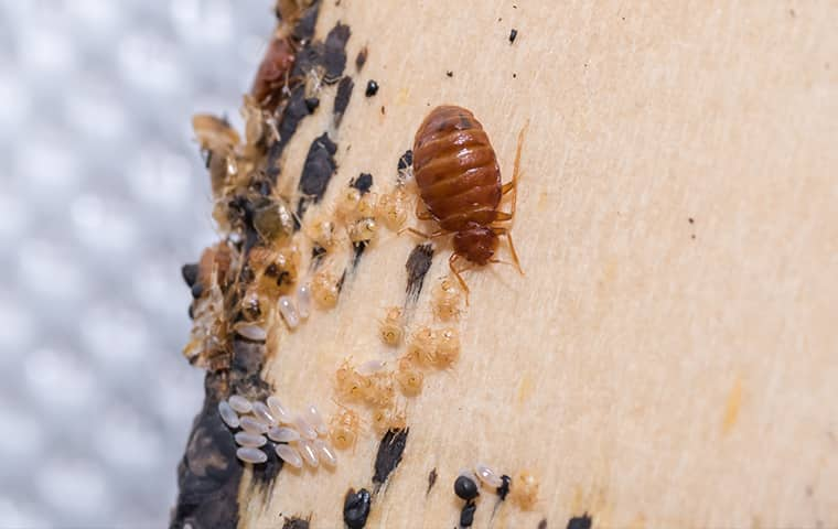a bed bug crawling on a surface inside of a home in houston texas