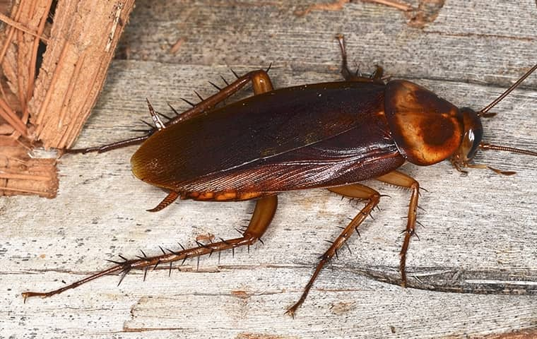 an american cockroach crawling across the floor of a home in fort worth texas