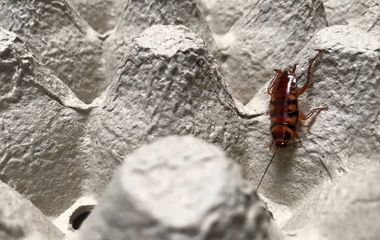 a brown banded cockroach crawling on garbage in a fort worth texas home
